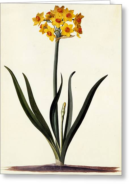 Single Drawings Greeting Cards - Narcissus Greeting Card by Georg Dionysius Ehret