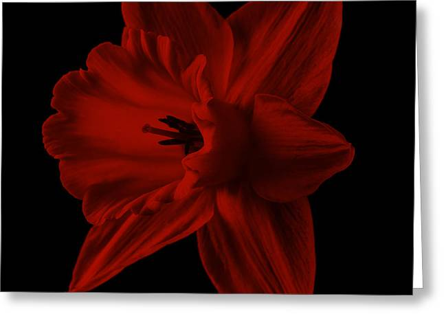 Floral Still Life Greeting Cards - Narcissus Red Square Greeting Card by Edward Fielding