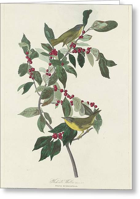 Tennessee Drawings Greeting Cards - Nashville Warbler Greeting Card by John James Audubon