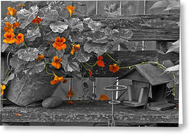 Interior Scene Greeting Cards - Nasturtiums In The Breeze - Selective Color Greeting Card by Sandra Foster