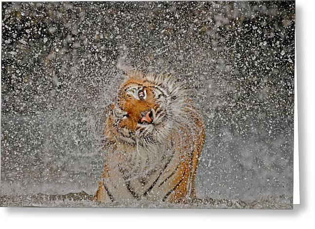 Tiger Photographs Greeting Cards - Nat Geo Recognition A?? The Explosion! Greeting Card by Ashley Vincent