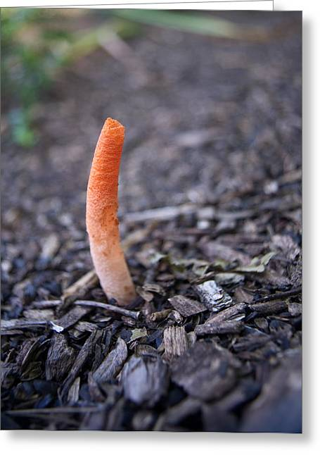 Phallus Greeting Cards - Native Stinkhorn Greeting Card by Douglas Barnett