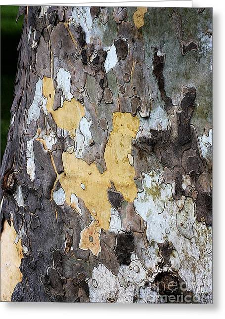 American Sycamore Greeting Cards - Natural Mosaic Greeting Card by Patti Whitten