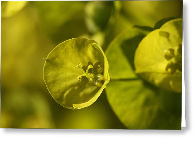 Spurge Greeting Cards - Natural Strength  Greeting Card by Connie Handscomb