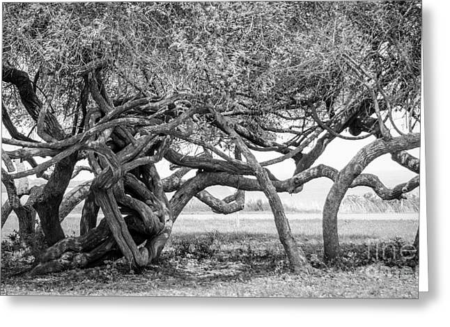 Gnarly Greeting Cards - Naturally Gnarled Nature Greeting Card by Debra Martz