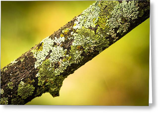 Lichen Photo Greeting Cards - Nature Closeup Photograph of Lichen on Dead Branch Greeting Card by Donald  Erickson