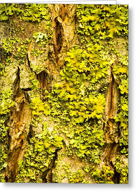 Lichen Photo Greeting Cards - Nature Closeup Photograph of Lichen on Tree Trunk Greeting Card by Donald  Erickson