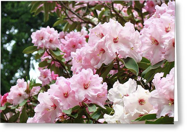 Pink Rhodies Greeting Cards - Nature Landscape art print Pink Rhododendrons Baslee Troutman Greeting Card by Baslee Troutman