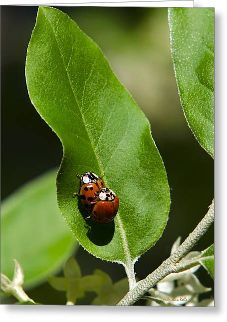 Ladybug Greeting Cards - Nature - Love Bugs Greeting Card by Christina Rollo