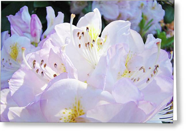 Rhodie Greeting Cards - Nature Sunlit Rhodies Flowers art prints White Pink Baslee Troutman Greeting Card by Baslee Troutman