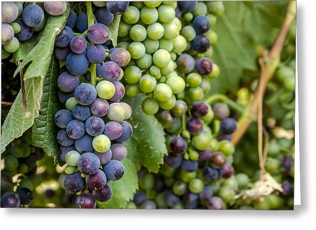 Mountain Valley Greeting Cards - Natures Colors in Wine Grapes Greeting Card by Teri Virbickis