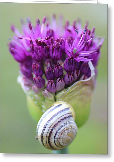 Allium Hollandicum Greeting Cards - Natures Forms and Colours Greeting Card by Rumyana Whitcher