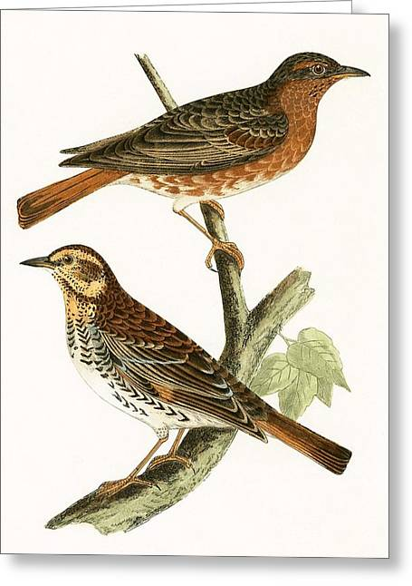 Naumann's Thrush Greeting Card by English School