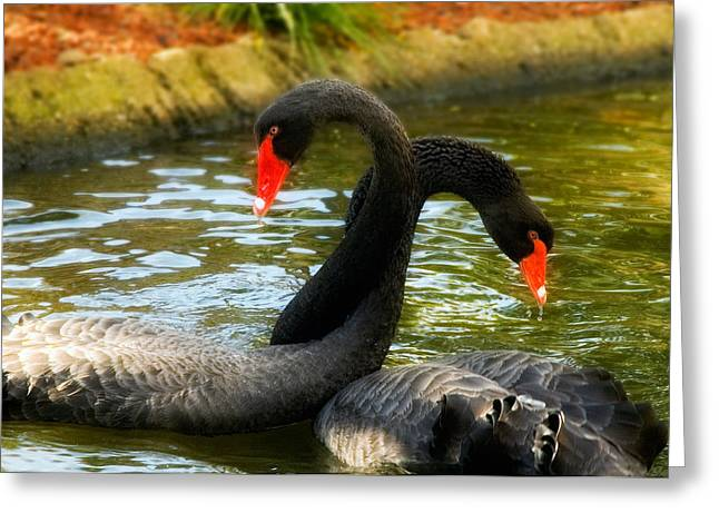 Black Swans Greeting Cards - Necking Greeting Card by Mick Burkey