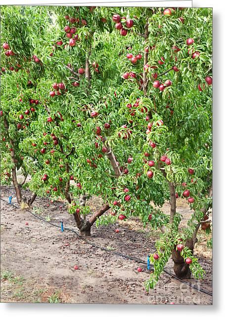 Prunus Persica Greeting Cards - Nectarine Orchard Greeting Card by Inga Spence