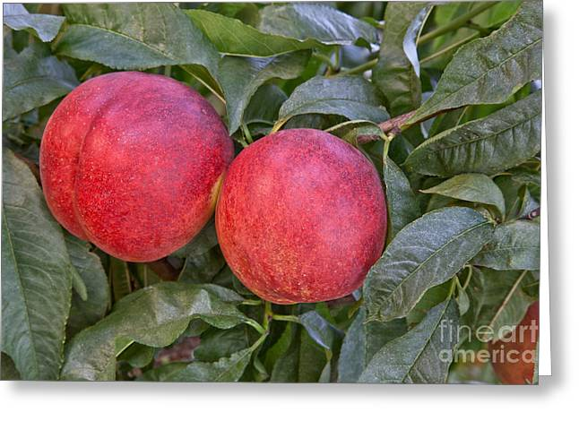 Prunus Persica Greeting Cards - Nectarines Arctic Summer Greeting Card by Inga Spence