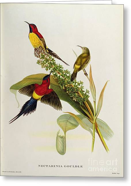 Bird Of Paradise Greeting Cards - Nectarinia Gouldae Greeting Card by John Gould