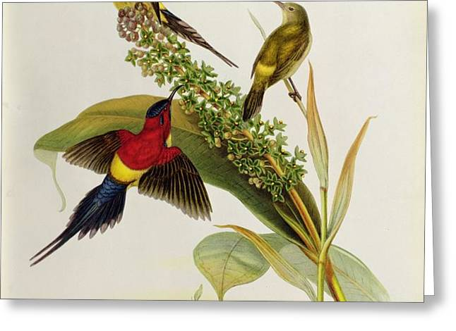 Nectarinia Gouldae Greeting Card by John Gould
