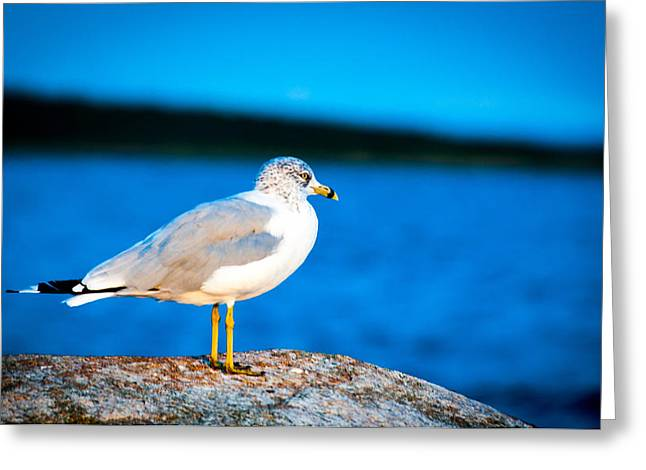 New England Ocean Greeting Cards - Neds Point Seagull  Greeting Card by Troy DeTerra