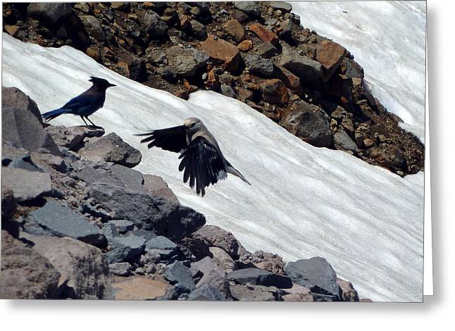 Stellar Jay Greeting Cards - Neighbors At Crater Lake Greeting Card by Methune Hively