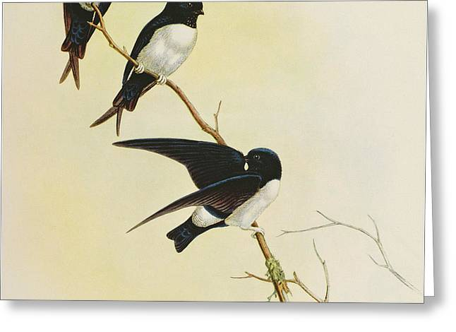 Nepal House Martin Greeting Card by John Gould