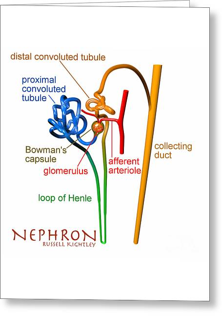 Nephron Labels #1 Greeting Card by Russell Kightley