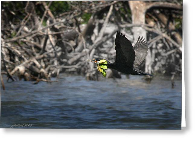 Double-crested Cormorant Greeting Cards - Nest building flaps up Greeting Card by Joseph G Holland