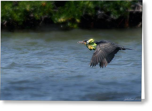 Double-crested Cormorant Greeting Cards - Nest building Greeting Card by Joseph G Holland