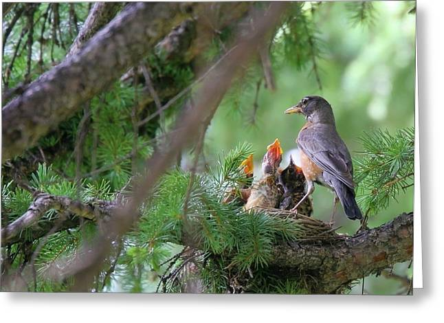 Hungry Chicks Greeting Cards - Nesting American Robins Greeting Card by Crystal Garner