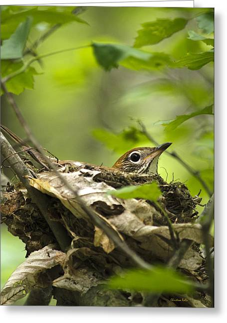 Nesting Birds - Wood Thrush Greeting Card by Christina Rollo