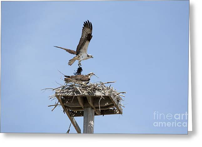 Nesting Osprey In New England Greeting Card by Erin Paul Donovan