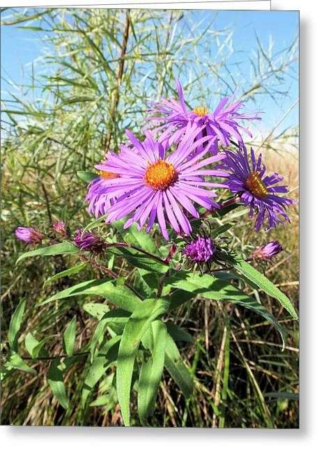 New England Aster Greeting Card by Scott Kingery