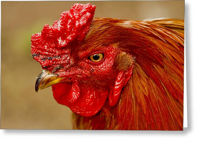 Barn Yard Greeting Cards - New Hampshire Rooster Greeting Card by Geraldine Scull