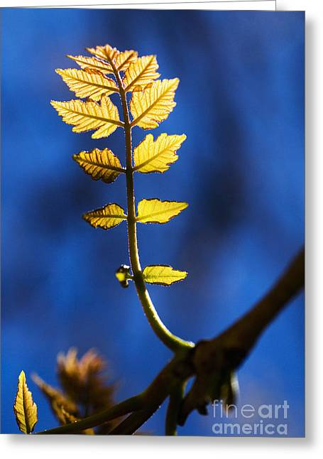 Backlit Greeting Cards - New Leaves on Poplar Greeting Card by Ray Laskowitz - Printscapes