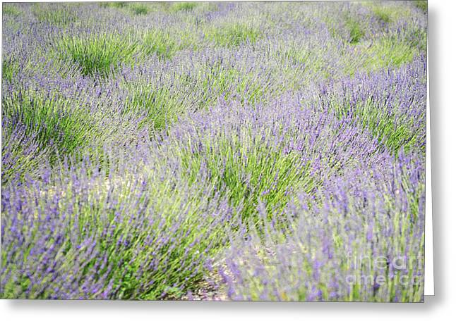 Print Photographs Greeting Cards - New Mexico Lavender Field Greeting Card by Andrea Hazel Ihlefeld