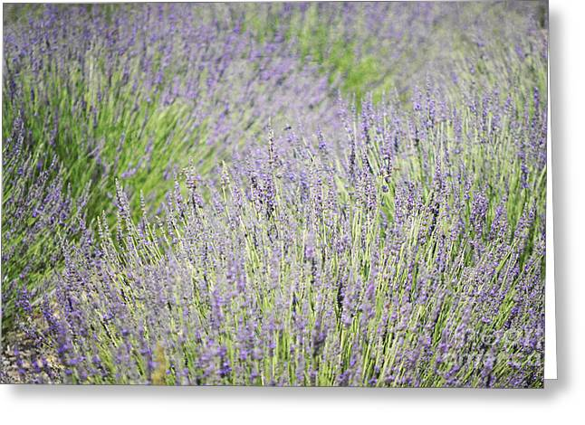 Print Photographs Greeting Cards - New Mexico Lavender Field Landscape Greeting Card by Andrea Hazel Ihlefeld