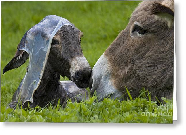 Baby Donkey Greeting Cards - Newborn Donkey Greeting Card by Jean-Louis Klein & Marie-Luce Hubert