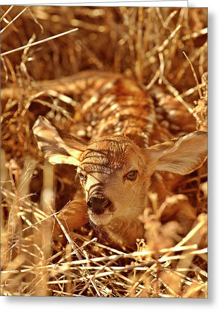 Looking Out Side Greeting Cards - Newborn Fawn Greeting Card by Mark Duffy
