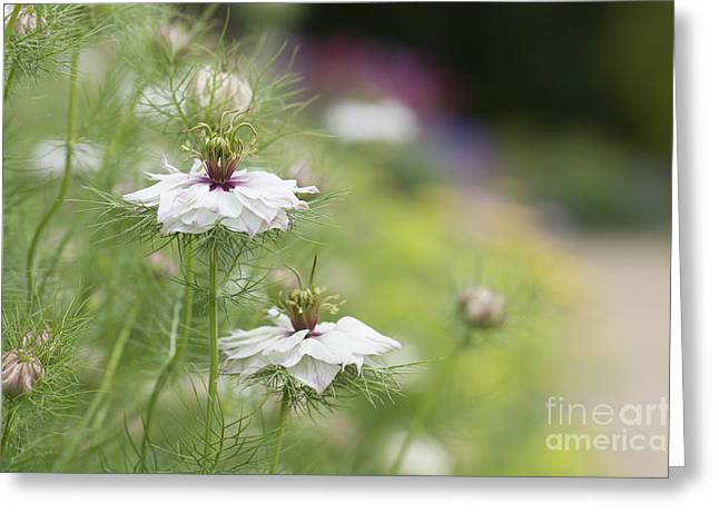 Nigella Damascena Miss Jekyll Alba Greeting Card by Tim Gainey