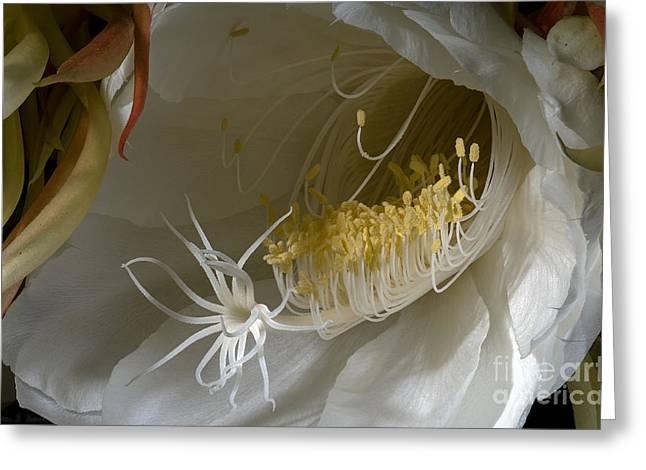 Cereus Greeting Cards - Night-Blooming Cereus - Deep 13 Greeting Card by Warren Sarle