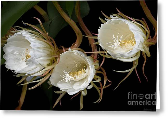 Night-blooming Cereus 0c Greeting Card by Warren Sarle