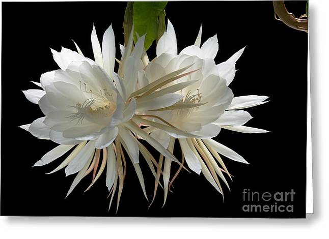 Night-blooming Cereus 2 Greeting Card by Warren Sarle