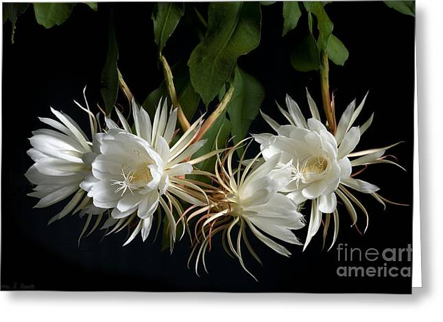 Cereus Greeting Cards - Night-Blooming Cereus 4 Greeting Card by Warren Sarle