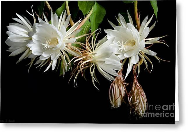 Cereus Greeting Cards - Night-Blooming Cereus 5 Greeting Card by Warren Sarle