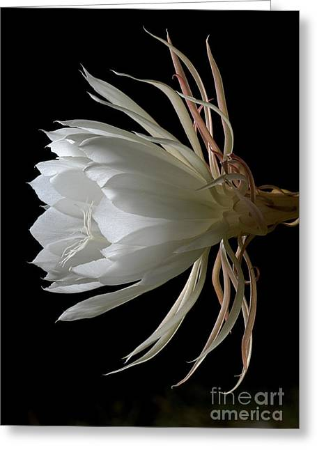 Night-blooming Cereus Deep 3 Greeting Card by Warren Sarle