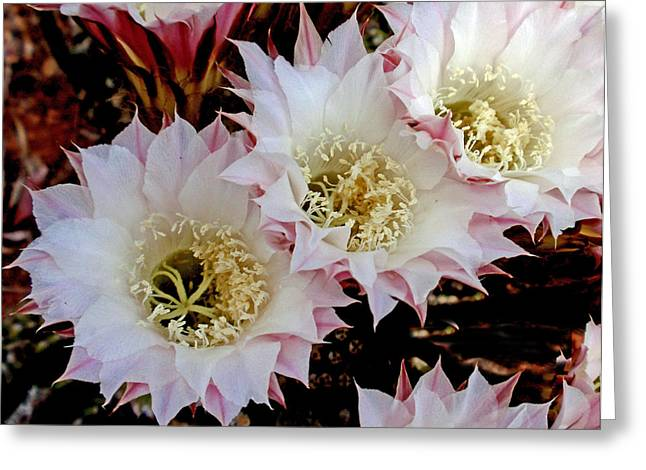 Blooming Pyrography Greeting Cards - Night-blooming cereus Greeting Card by Gene Garrison