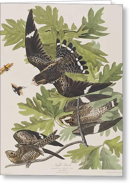 Night Hawk Greeting Card by John James Audubon