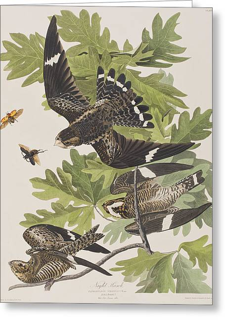 Insects Drawings Greeting Cards - Night Hawk Greeting Card by John James Audubon