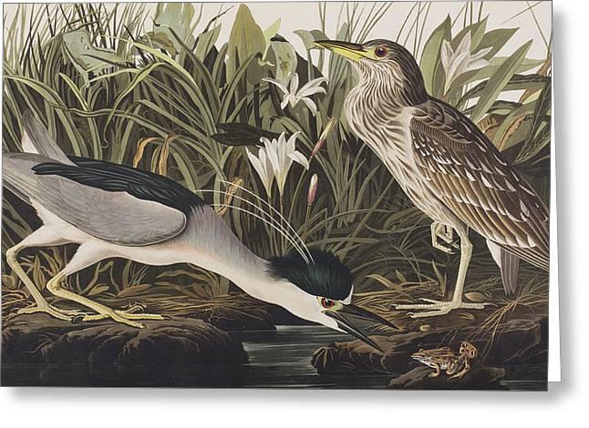 Heron Greeting Cards - Night Heron or Qua Bird Greeting Card by John James Audubon