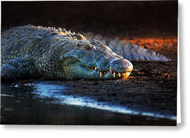 Parks And Wildlife Greeting Cards - Nile crocodile on riverbank-1 Greeting Card by Johan Swanepoel